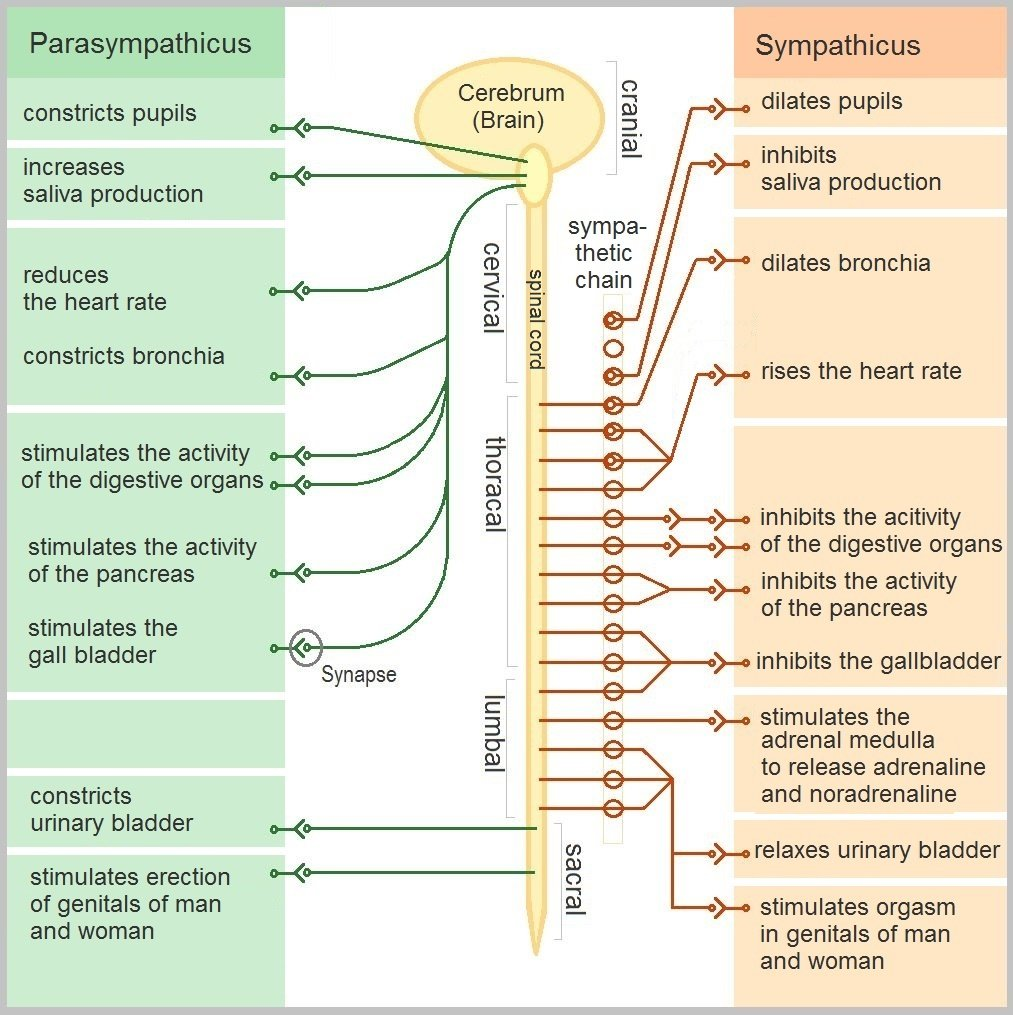 Diagram of the he Autonomic Nervous System (ANS) - the roles of the parasympathetic and sympathetic nervous systems.